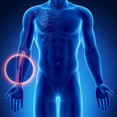 raggio: Anatomia raggio Maschio osso