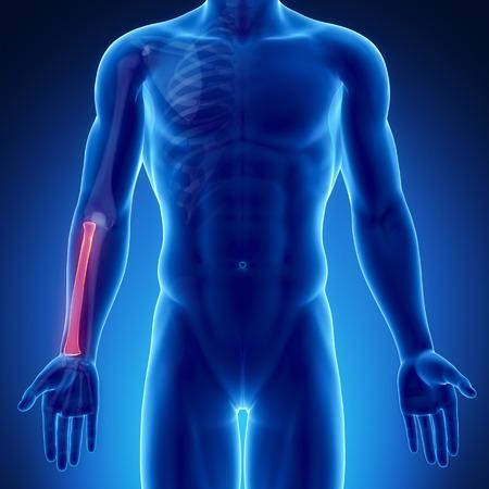 radius: Male bone anatomy radius Stock Photo