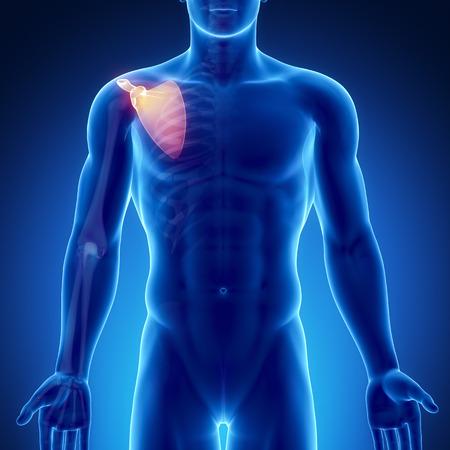 scapula: Male bone anatomy scapula