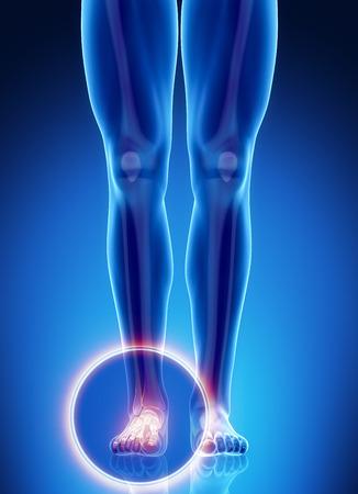 Male bone anatomy ankle