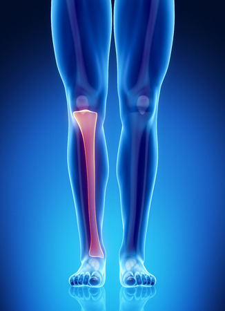 Male bone anatomy tibia Stock Photo