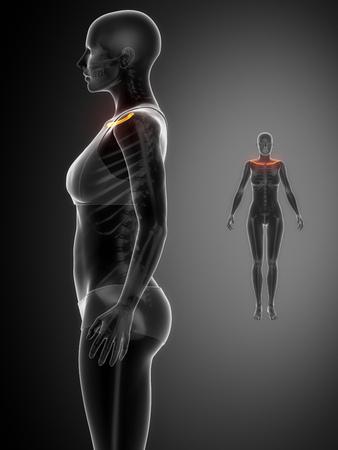 clavicle: Clavicle anatomy Stock Photo