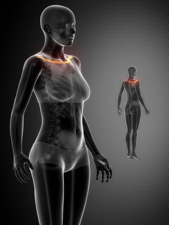 clavicle: Clavicle anatomy Stock Photo