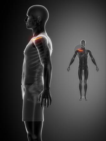 collarbone: Clavicle anatomy Stock Photo