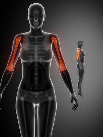 humerus: HUMERUS black x--ray bone scan Stock Photo