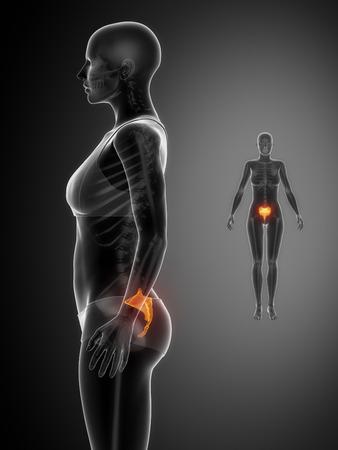 flexion: SACRUM black x--ray bone scan Stock Photo