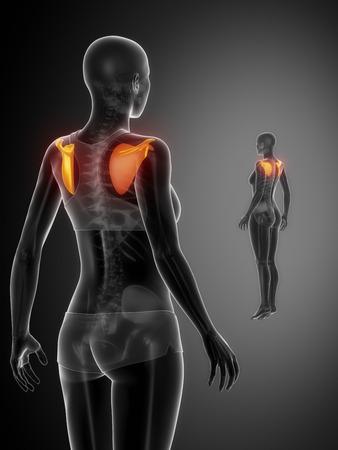 collarbone: SCAPULA black x--ray bone scan Stock Photo