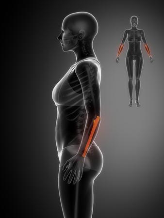 axial: ULNA black x--ray bone scan Stock Photo
