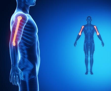 humerus: HUMERUS bone anatomy x-ray scan