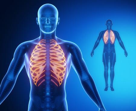 collarbone: RIBS bone anatomy x-ray scan