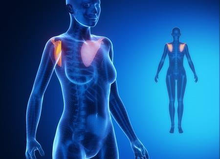collarbone: SCAPULA blue x--ray bone scan