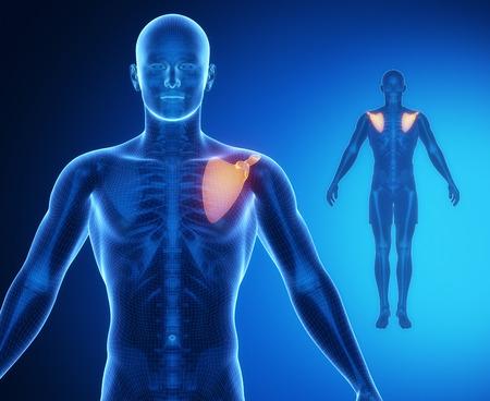 collarbone: SCAPULA bone anatomy x-ray scan Stock Photo