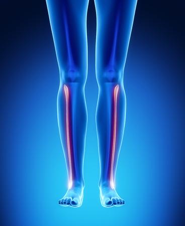 perineum: FIBULA blue x--ray bone scan