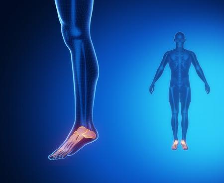 flexion: ANKLE bone anatomy x-ray scan Stock Photo