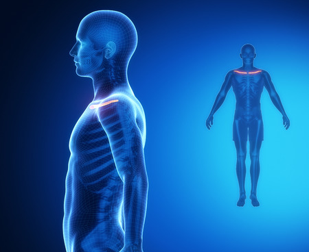 collarbone: CLAVICLE bone anatomy x-ray scan