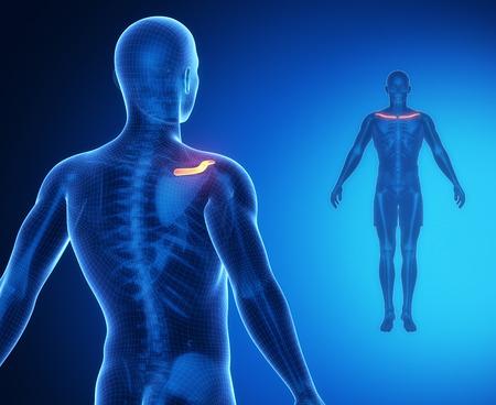 clavicle: CLAVICLE bone anatomy x-ray scan