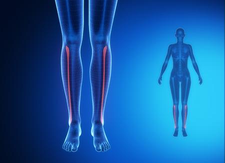 flexion: FIBULA blue x--ray bone scan