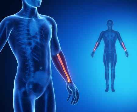 RADIUS bone anatomy x-ray scan Stock Photo
