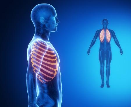 Exploración De Rayos X Anatomía Hueso De La Clavícula Fotos ...