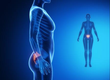 flexion: SACRUM blue x--ray bone scan Stock Photo