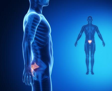 pubis: SACRUM bone anatomy x-ray scan