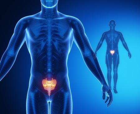 perineum: SACRUM bone anatomy x-ray scan