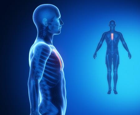 collarbone: STERNUM bone anatomy x-ray scan