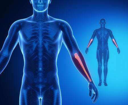 axial: ULNA bone anatomy x-ray scan