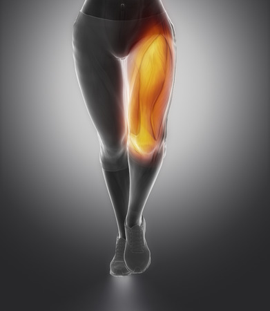 female anatomy: Quadriceps female anatomy