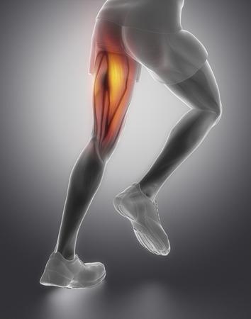 soleus: Thigh man muscle anatomy Stock Photo