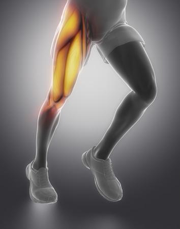 Oberschenkelmuskel Anatomie Standard-Bild - 40323377