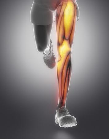 anatomy: La anatom�a del m�sculo de la pierna