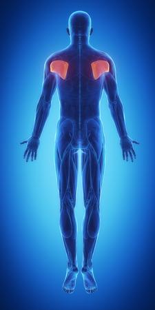 male body: infraspinatus Stock Photo