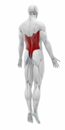 dorsi: Latissimus dorsi - Muscles anatomy map Stock Photo