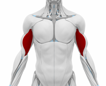 biceps: Biceps brachii - Muscles anatomy map