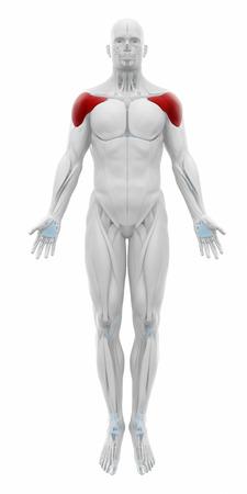 shoulders: Deltoid - Muscles anatomy map