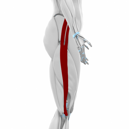 lateral: Iliotibial tract - Muscles anatomy map Stock Photo