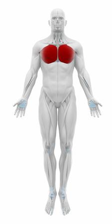 musculus: pectoralis major - Muscles anatomy map