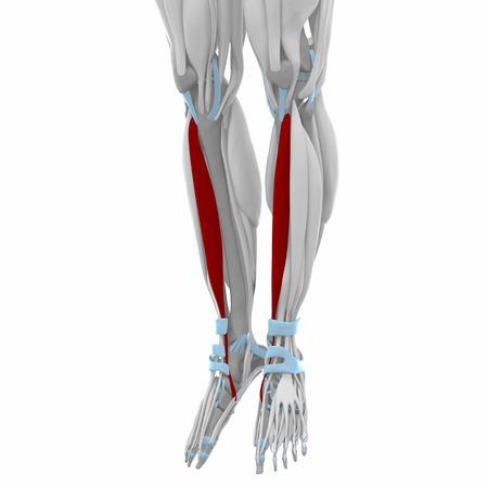 anterior: Tibialis anterior - Muscles anatomy map Stock Photo