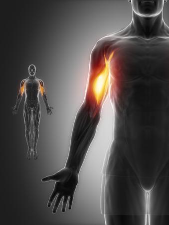 biceps: Biceps brachii