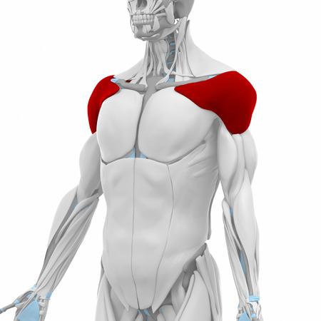 Deltoides - Músculos Mapa Anatomía Fotos, Retratos, Imágenes Y ...