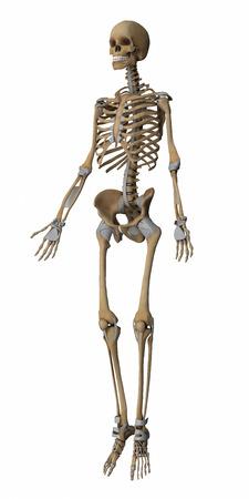 skeleton anatomy: Skeleton anatomy map Stock Photo
