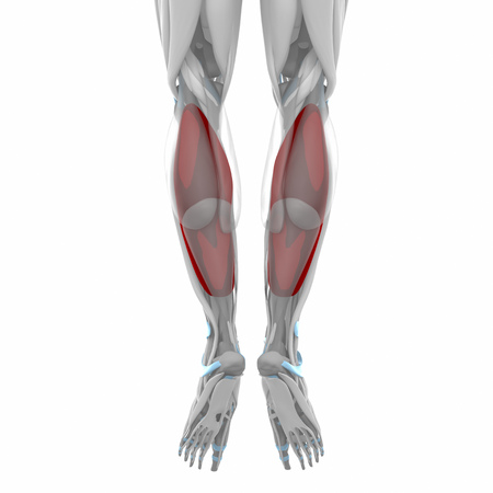 musculus: Soleus - Muscles anatomy map Stock Photo