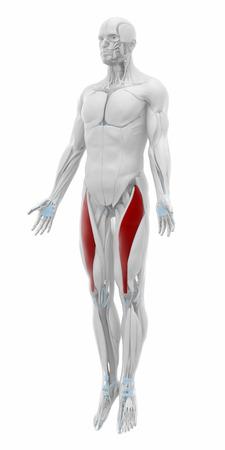 rectus: Rectus femoris - Muscles anatomy map Stock Photo