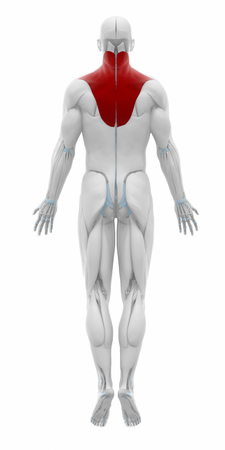 musculus: Trapezius - Muscles anatomy map