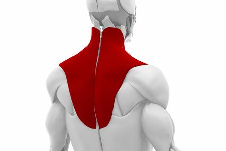 trapezius: Trapezius - Muscles anatomy map