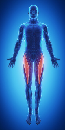 male body: rectus femoris