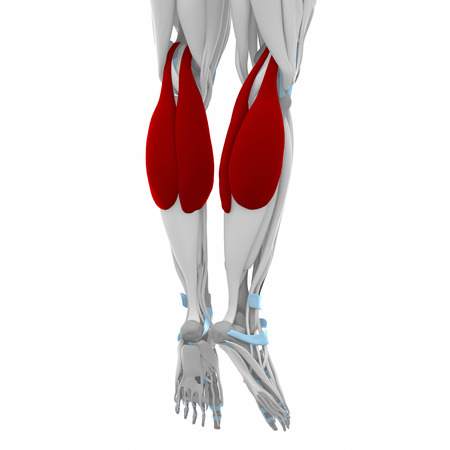 gastrocnemius: Gastrocnemius - Muscles anatomy map