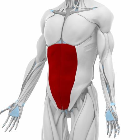 Abdominales Oblicuos Externos - Músculos Mapa Anatomía Fotos ...