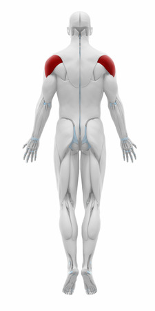 musculus: Deltoid - Muscles anatomy map